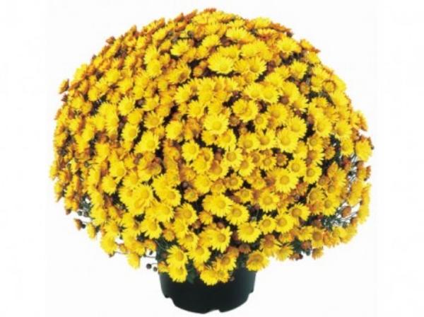 Atlantico Yellow  Belgian Mum®