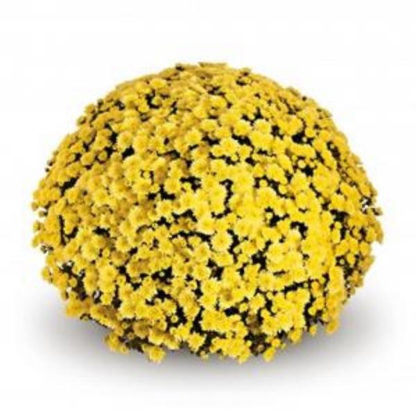 Jasoda Yellow  Belgian Mum®