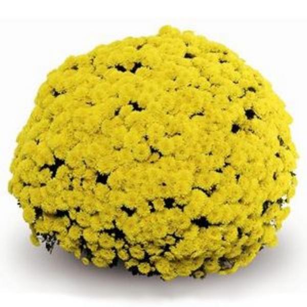 Mouria Yellow  Belgian Mum®