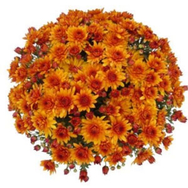 Mika Orange Belgian Mum®