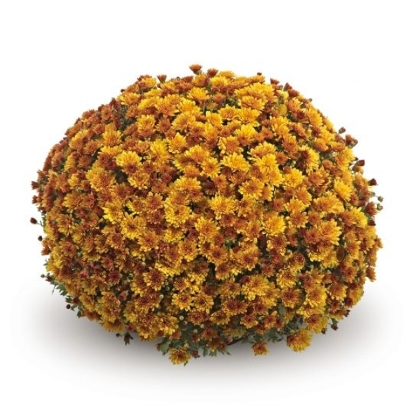 Conella Orange Belgian Mum®