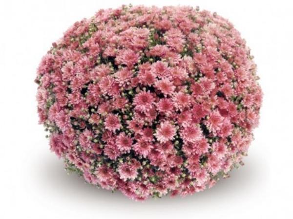 Tuscany Coral Belgian Mum®