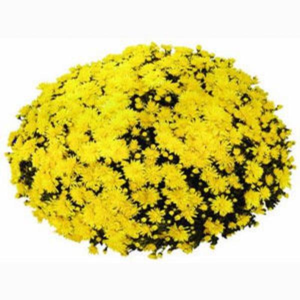 Milano Yellow  Belgian Mum®