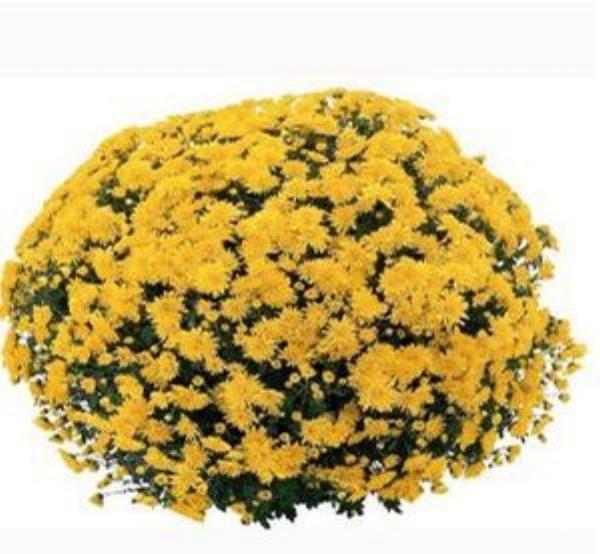 Cesaro Yellow  Belgian Mum®