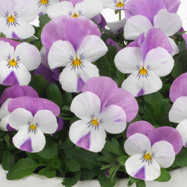 Sorbet Pink Wing Viola