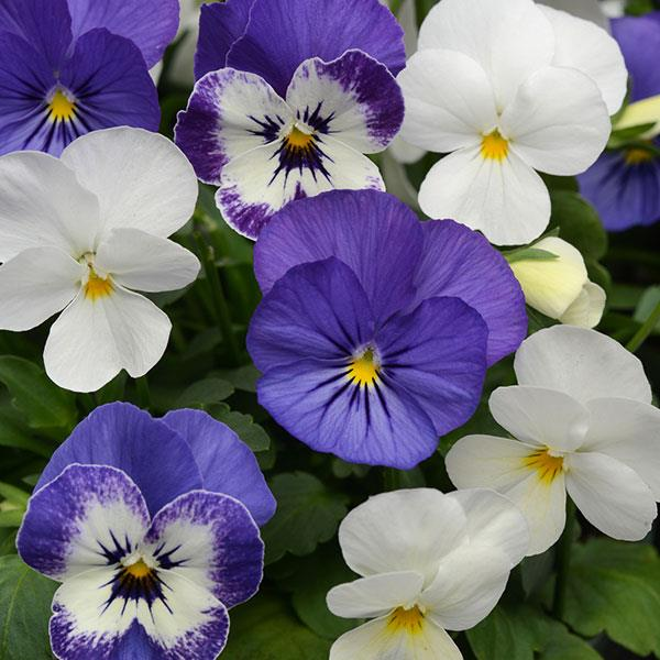 Sorbet Blueberry Sundae Mix Viola