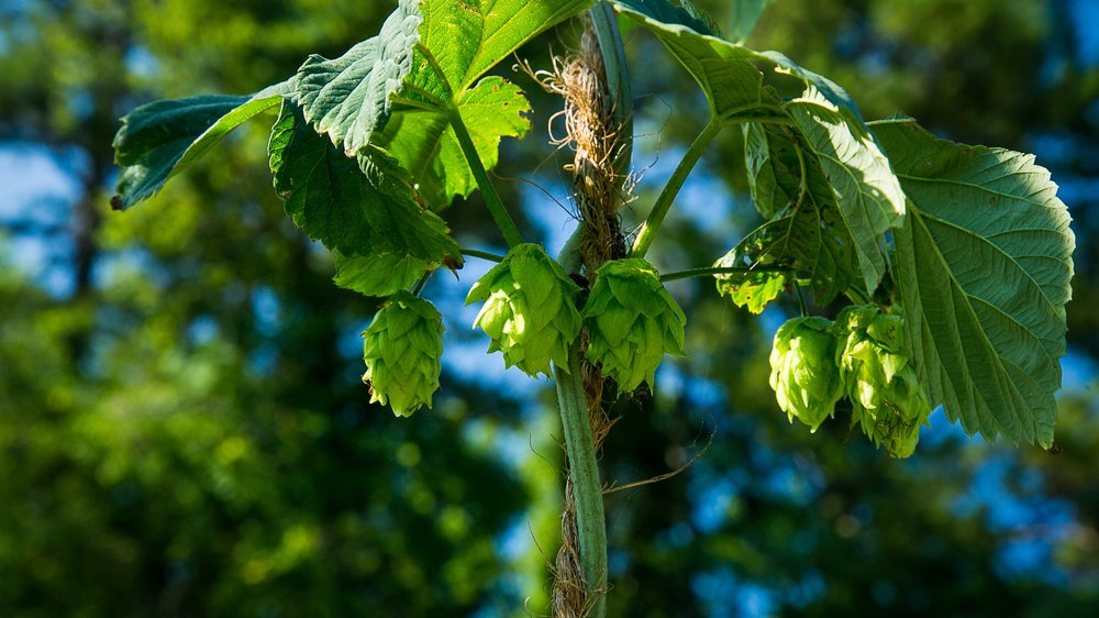 Hops at Miller Farm