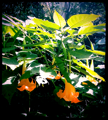 Angel's Trumpet...The one from the farm.