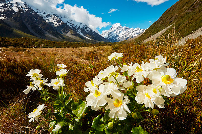 Mt-Cook-Lillies-web.jpg