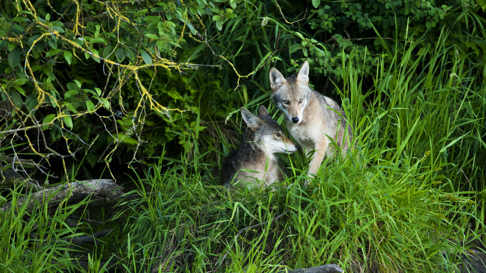 Two Coyotes Cuddling, Chilliwack, BC,  Great Blue Heron Nature Reserve. ISO 1600| F8 | 1/250TH see more at https://www.facebook.com/groups/101077470318774/