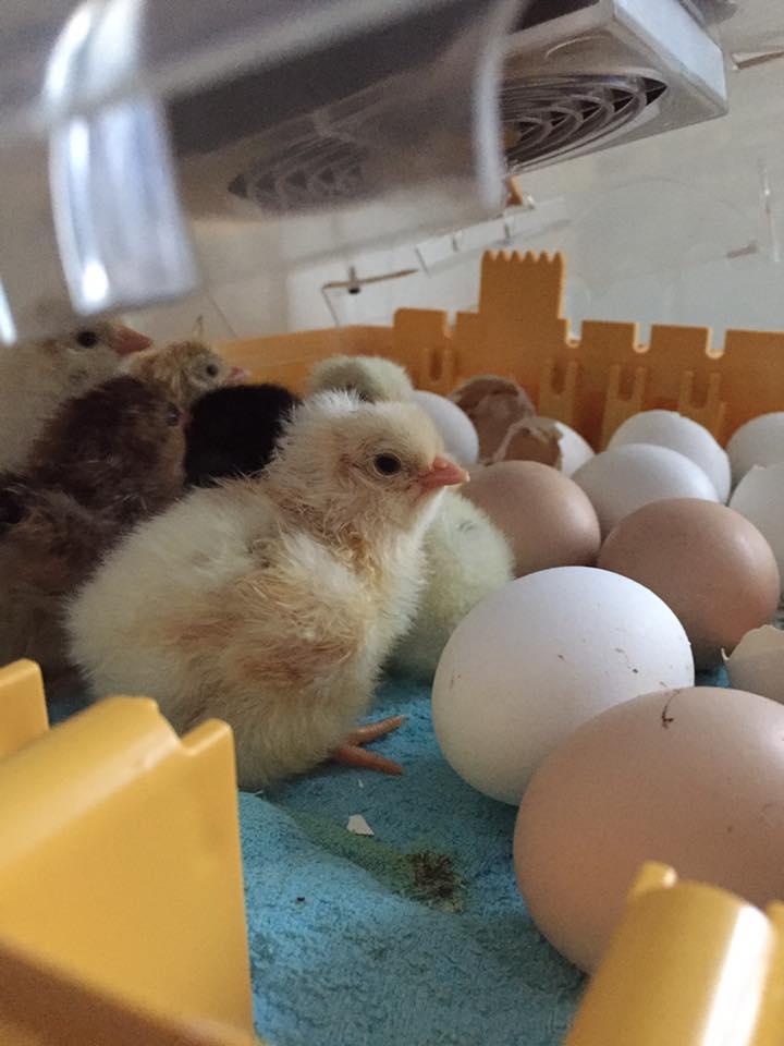 bildeNyklekka kyllinger.jpg