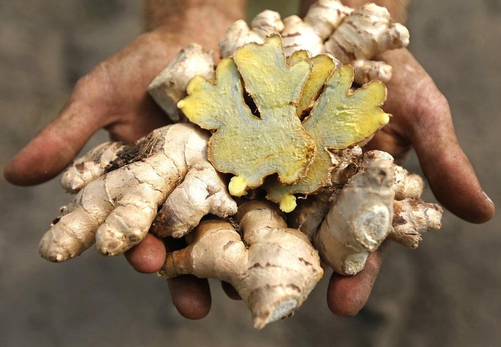 Blue ginger is held by John Warren at Spade and Clover Farm on John's Island in Charleston, S.C.  A hand of ginger will weigh around a pound when it reaches maturity after about 10 months.