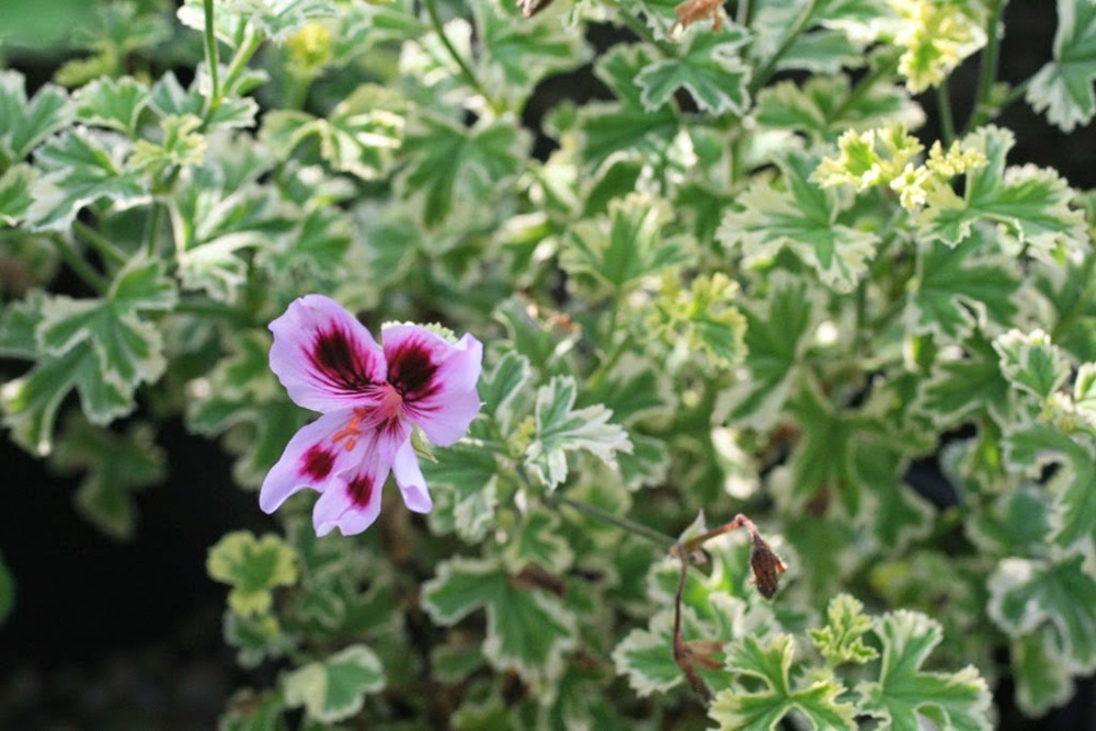 Pelargonium 'Annsbrooke Beauty'