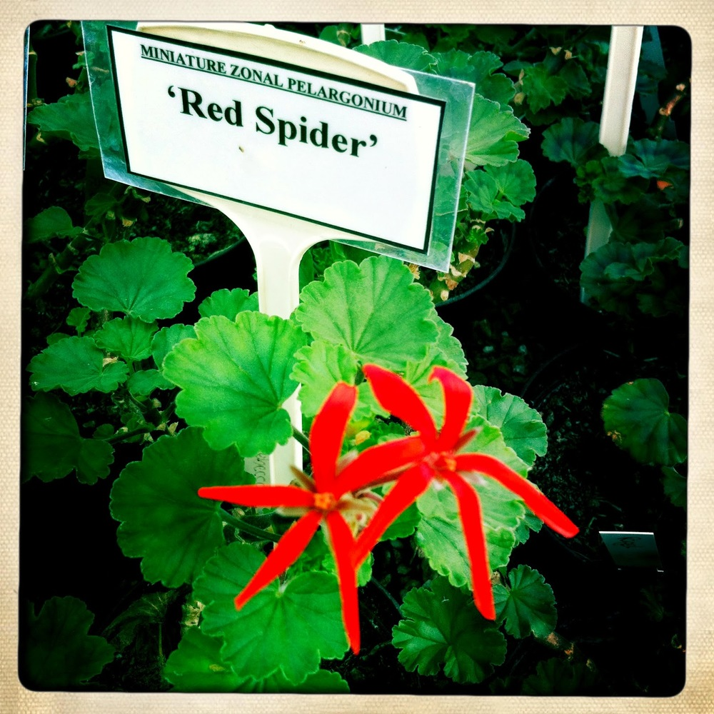 Pelargonium 'Red Spider'