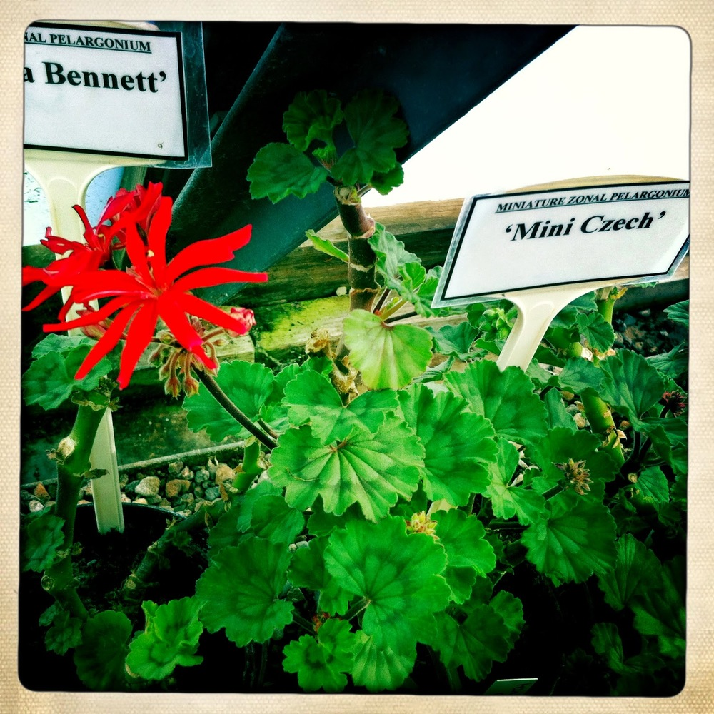 Pelargonium 'Mini Czech'