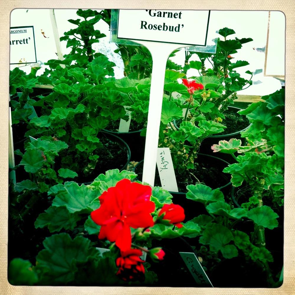 Pelargonium 'Garnet Rosebud'