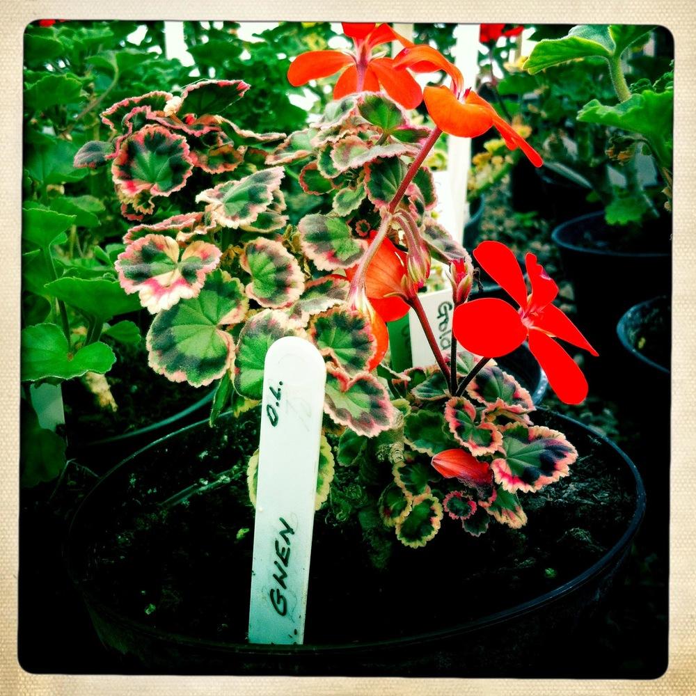 Pelargonium 'Gwen'