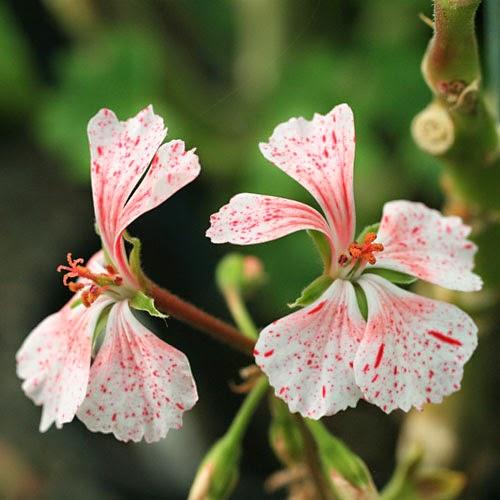 Pelargonium 'Vectis Volcano'