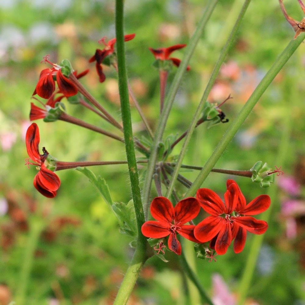 Pelargonium 'Ardens'.