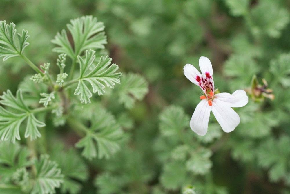 Pelargonium abrotainifolium