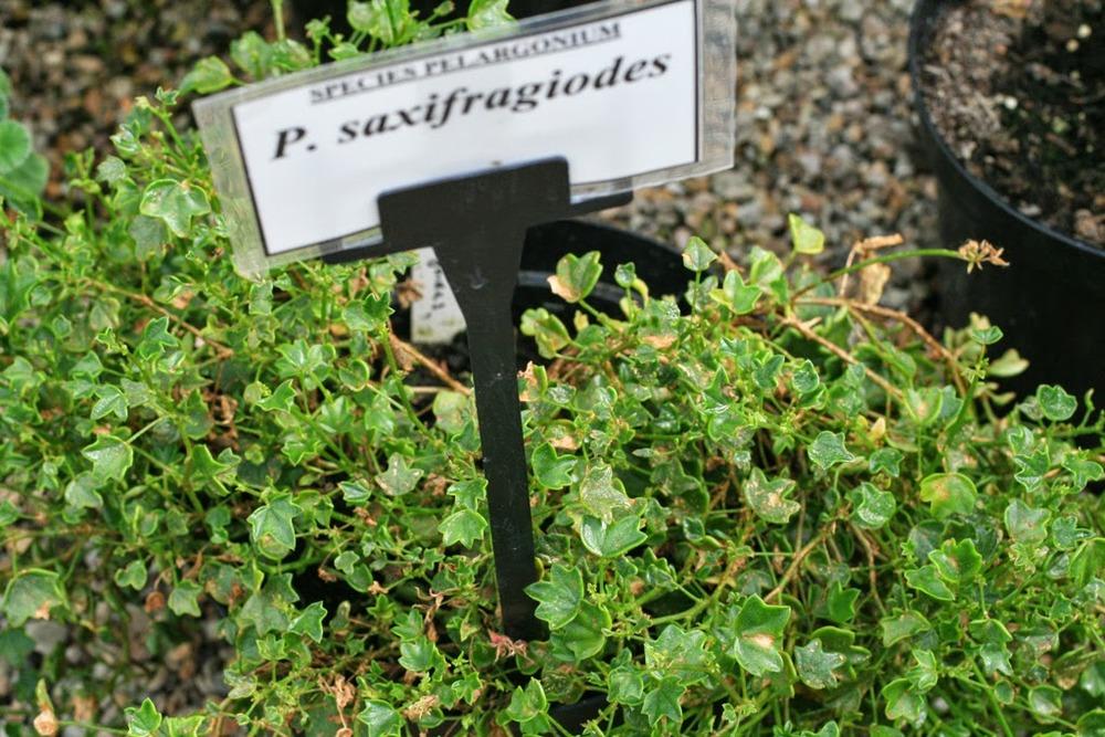 Pelargonium saxifragoides