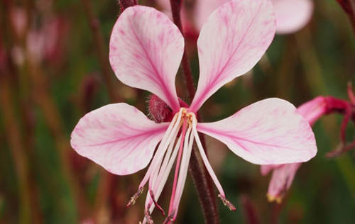 Gaura  'Rosy Shimmers'