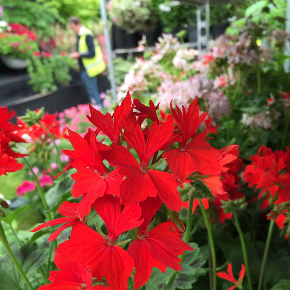 Preparing Fibrex Nurseries' pelargonium display for another Cheslea gold