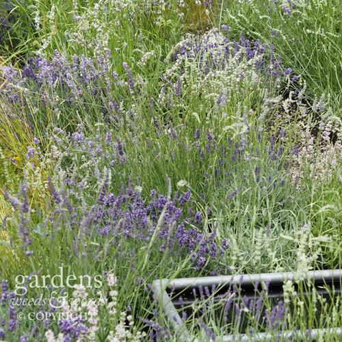 Detail from Shropshire Lavender's   Lavender Garden  Detail from Shropshire Lavender's   Lavender Garden