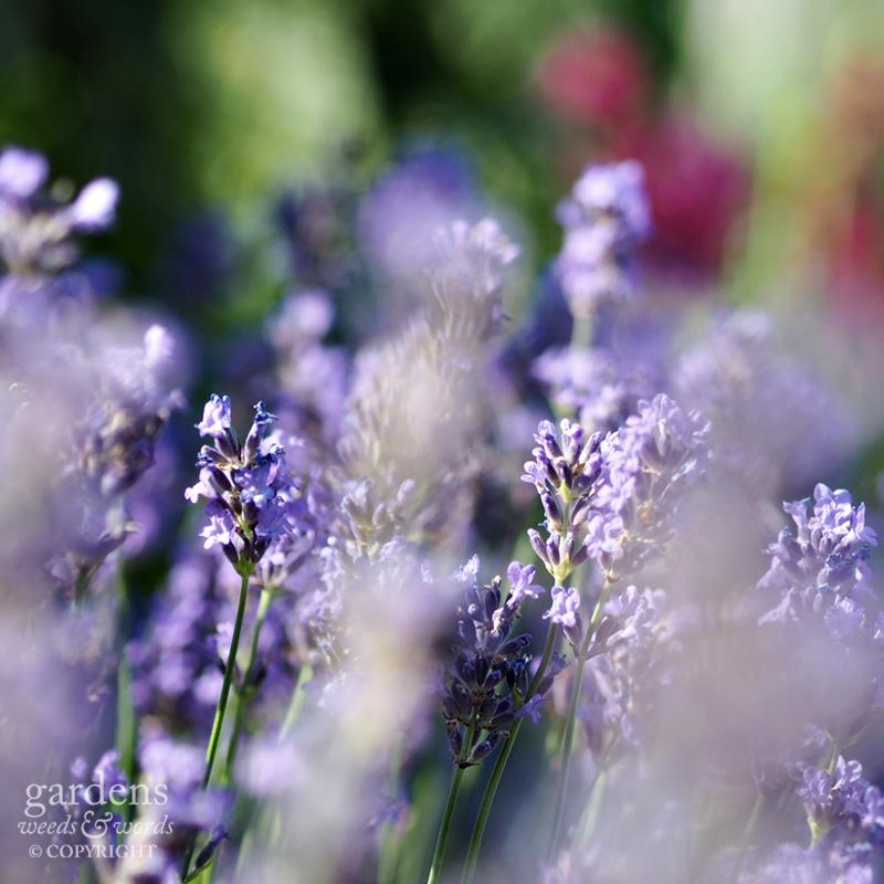 Hardy lavender Lavendula angustifolia