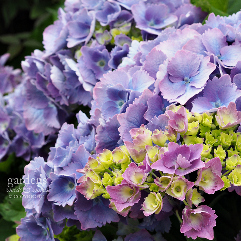 Hydrangea macrophylla, cultivar yet to be identified
