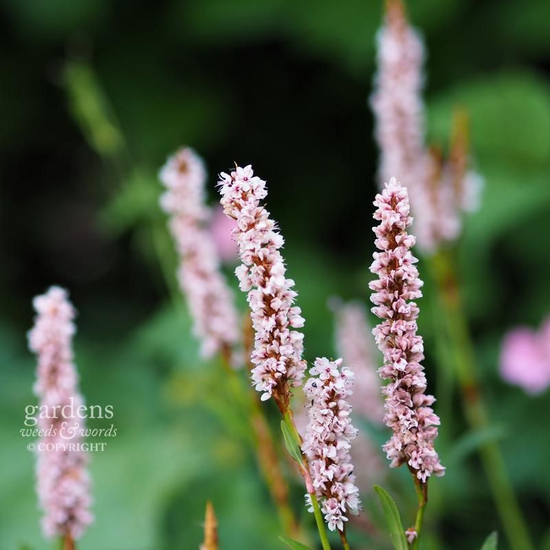 Persicaria affinis'Superba'