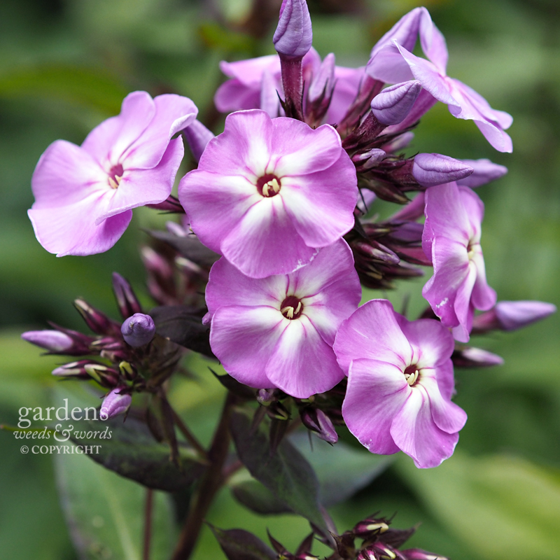 Phlox paniculata, cultivar yet to be identified.