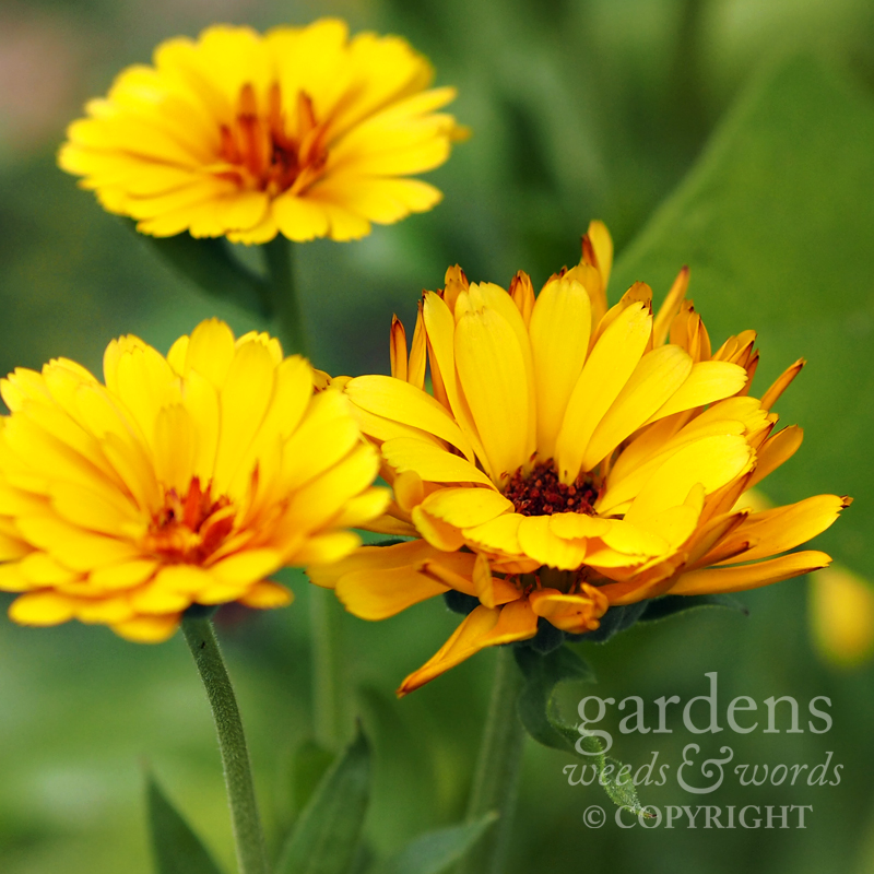 Calendula officinalis  'Indian Prince'. Not  quite as orange as I'd been expecting.