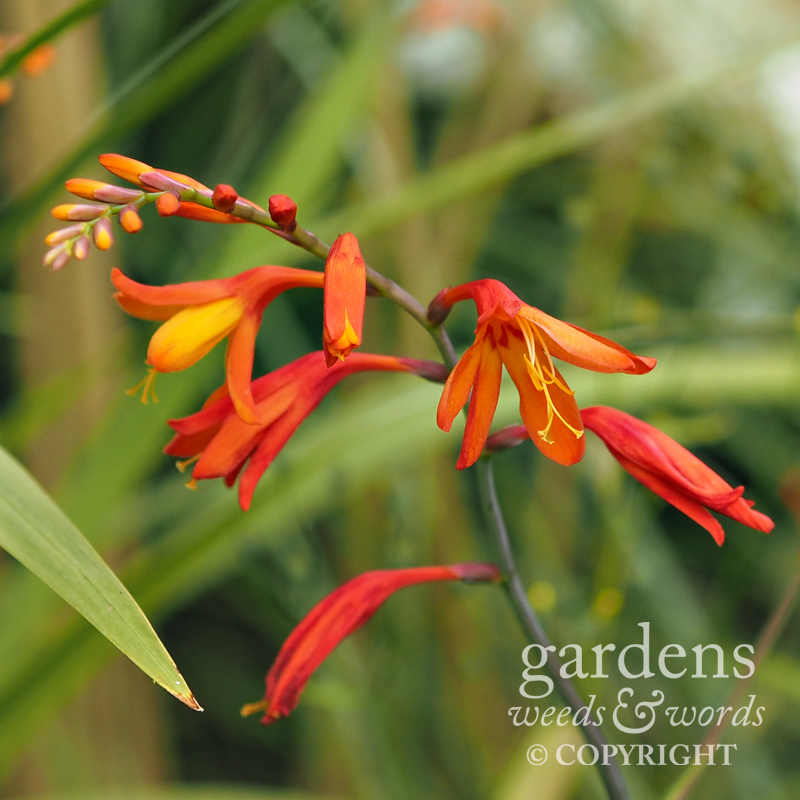 The prolific montbretia – not particularly difficult to pull out, but leave a few corms behind, and you'll know all about it.