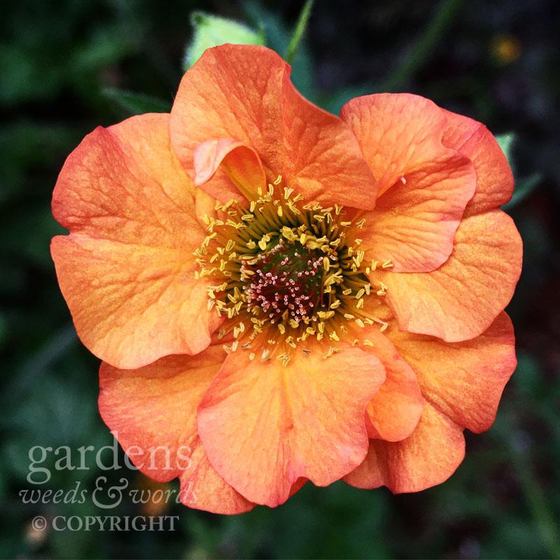 Geum'Totally Tangerine'