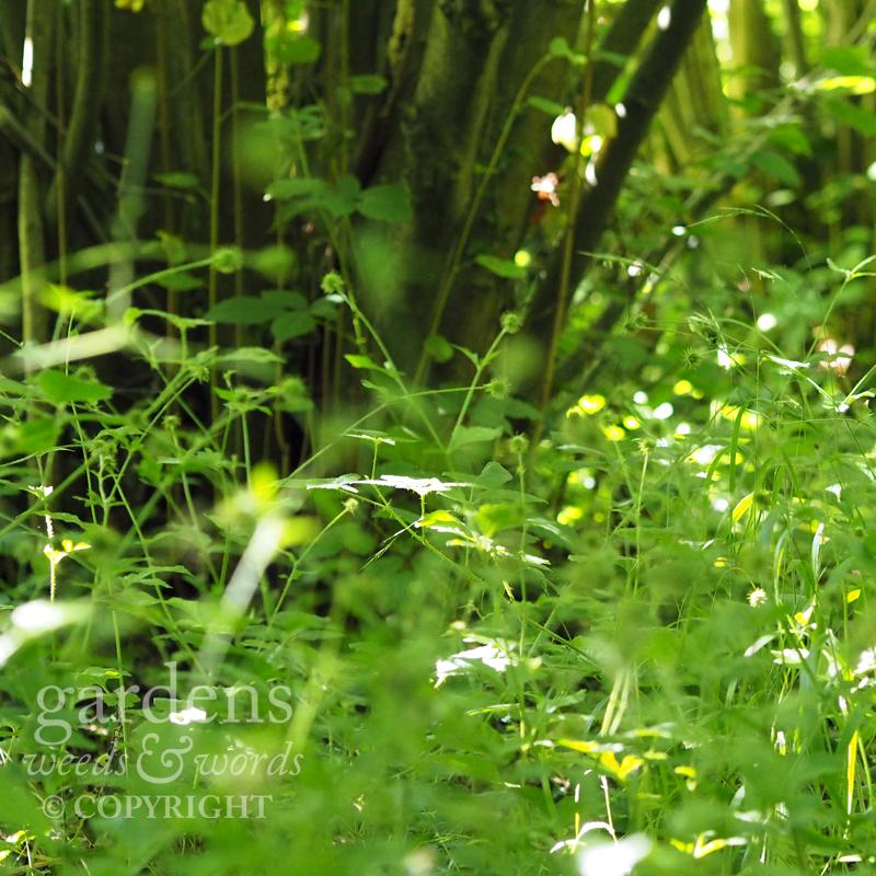 Wood avens ( Geum urbanum )beneath the hazel trees