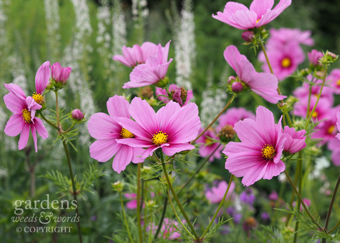 If I could only grow one ornamental annual, it would probably be cosmos