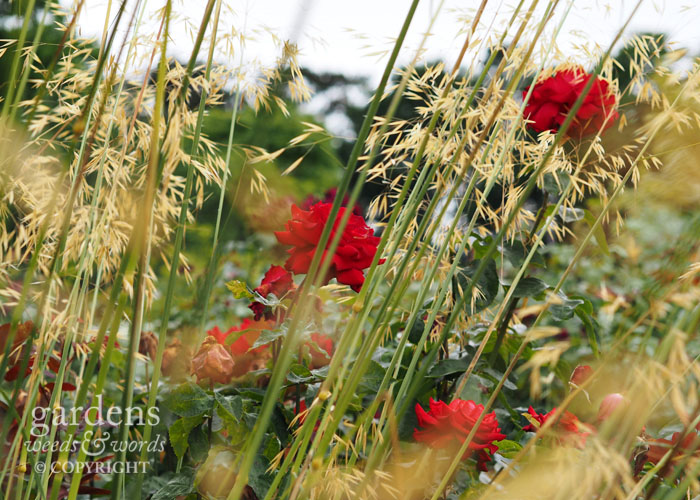 Golden oat grass  Stipa gigantea  makes a fantastic duo with the miniature red rose 'My Valentine'