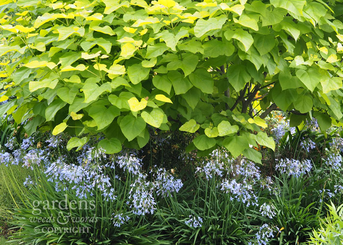 A carpet of agapanthus spread beneath a golden Indian bean tree,  Catalpa bignonioides
