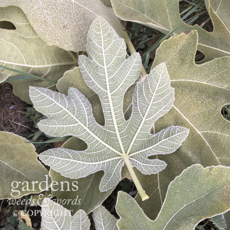 Frosted leaves of the edible fig,  Ficus carica , a carpet beneath the naked tree