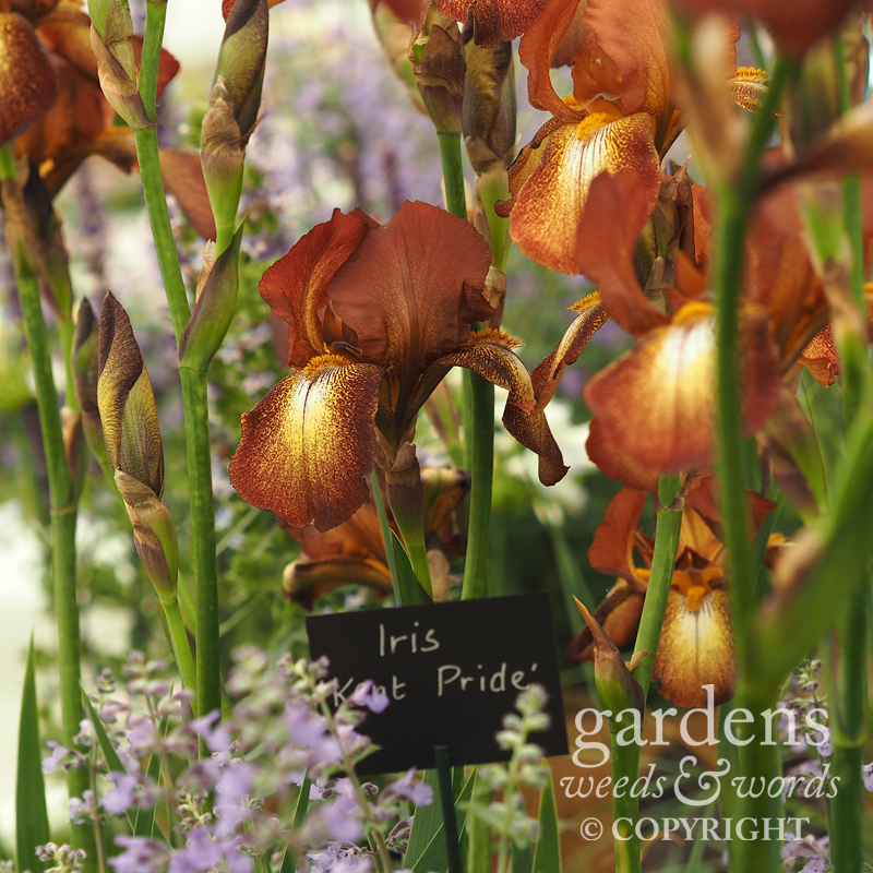 RHS Chelsea Flower Show 2017:  Iris  'Kent Pride' on the Todd's Botanics stand