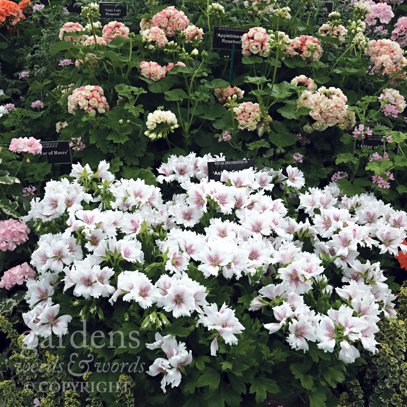 Pelargoniums from Fibrex Nurseries at RHS Hampton Court Flower Show. The center of the display, with 'Appleblossom Rosebud' at the top, above 'Askham Fringed Aztec'