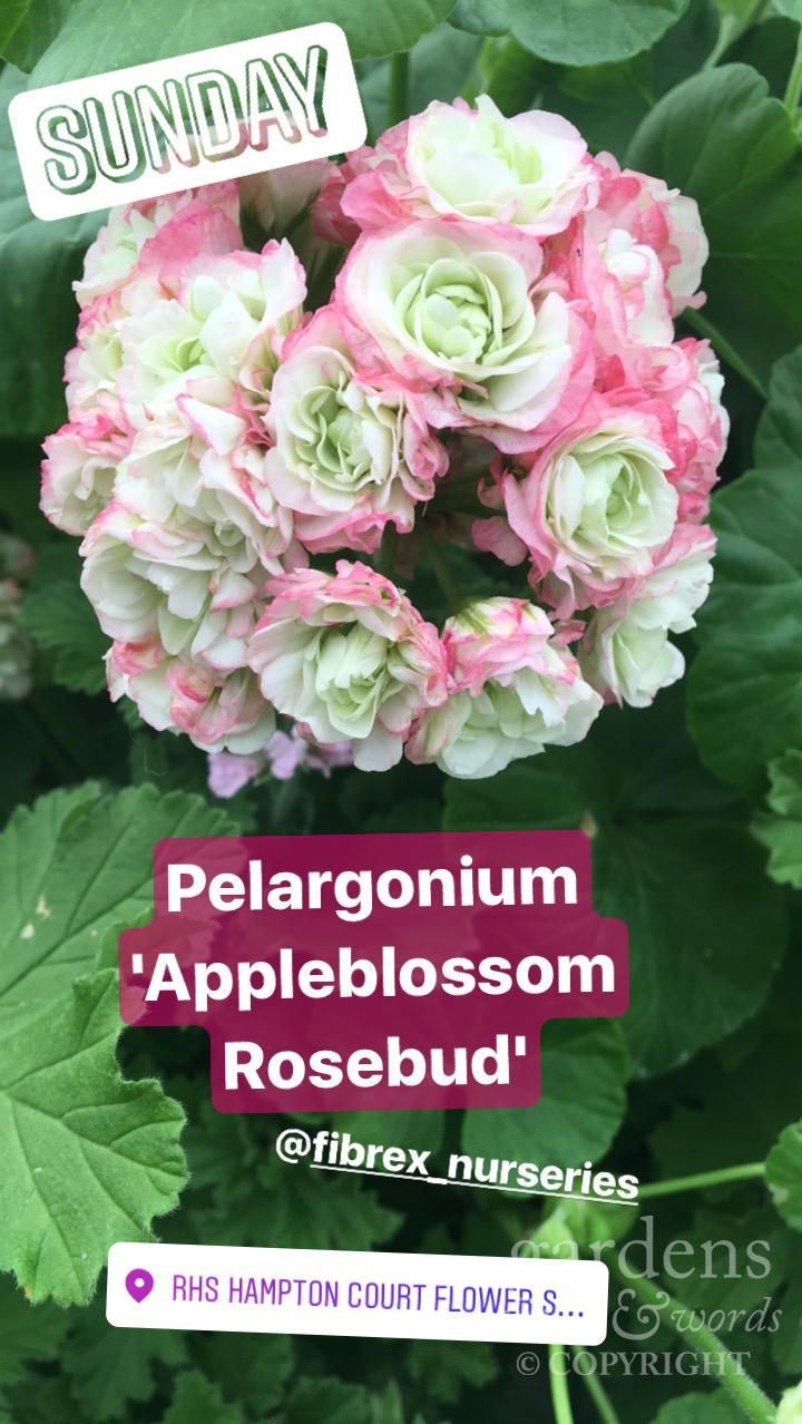 Stolen from my Instagram stories. Pelargonium 'Appleblossom Rosebud' from  Fibrex Nurseries stand at RHS Hampton Court Flower Show