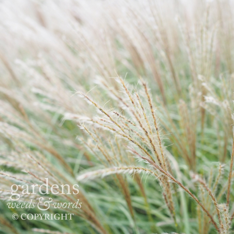 diary_wisley_miscanthus.jpg