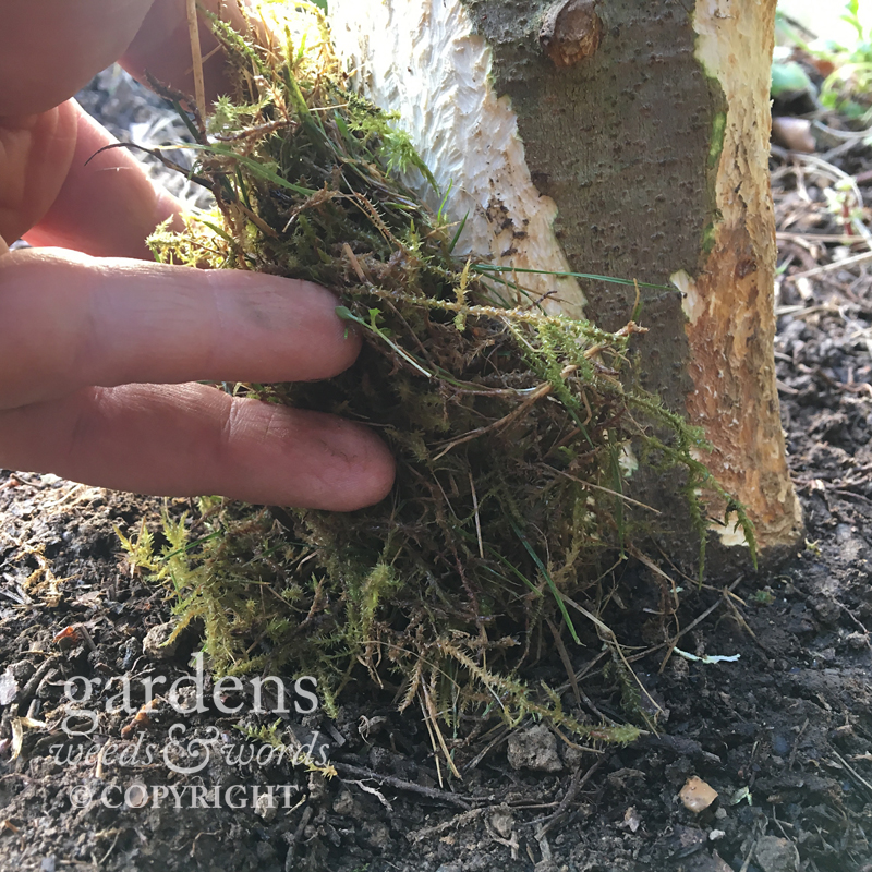 Using moss around the wound caused by the rabbit damage to create an environment in which we hope the bark will begin to heal