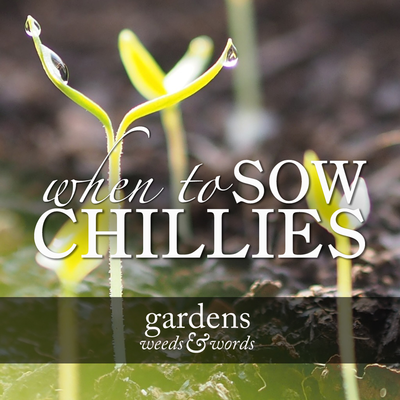 When to sow chillies heading image