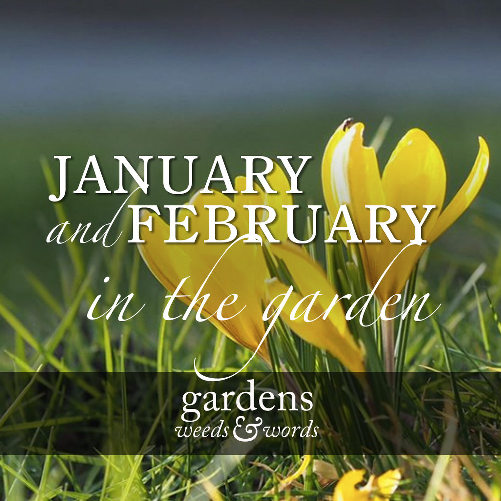 January and February in the garden. Yellow crocuses