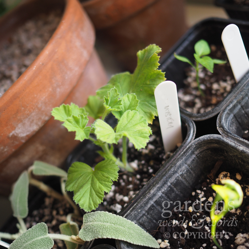 A cutting of  Pelargonium  'Mystery' jostling for space among the seedlings