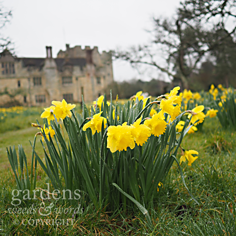 Daffodils in Anne Boleyn's orchard