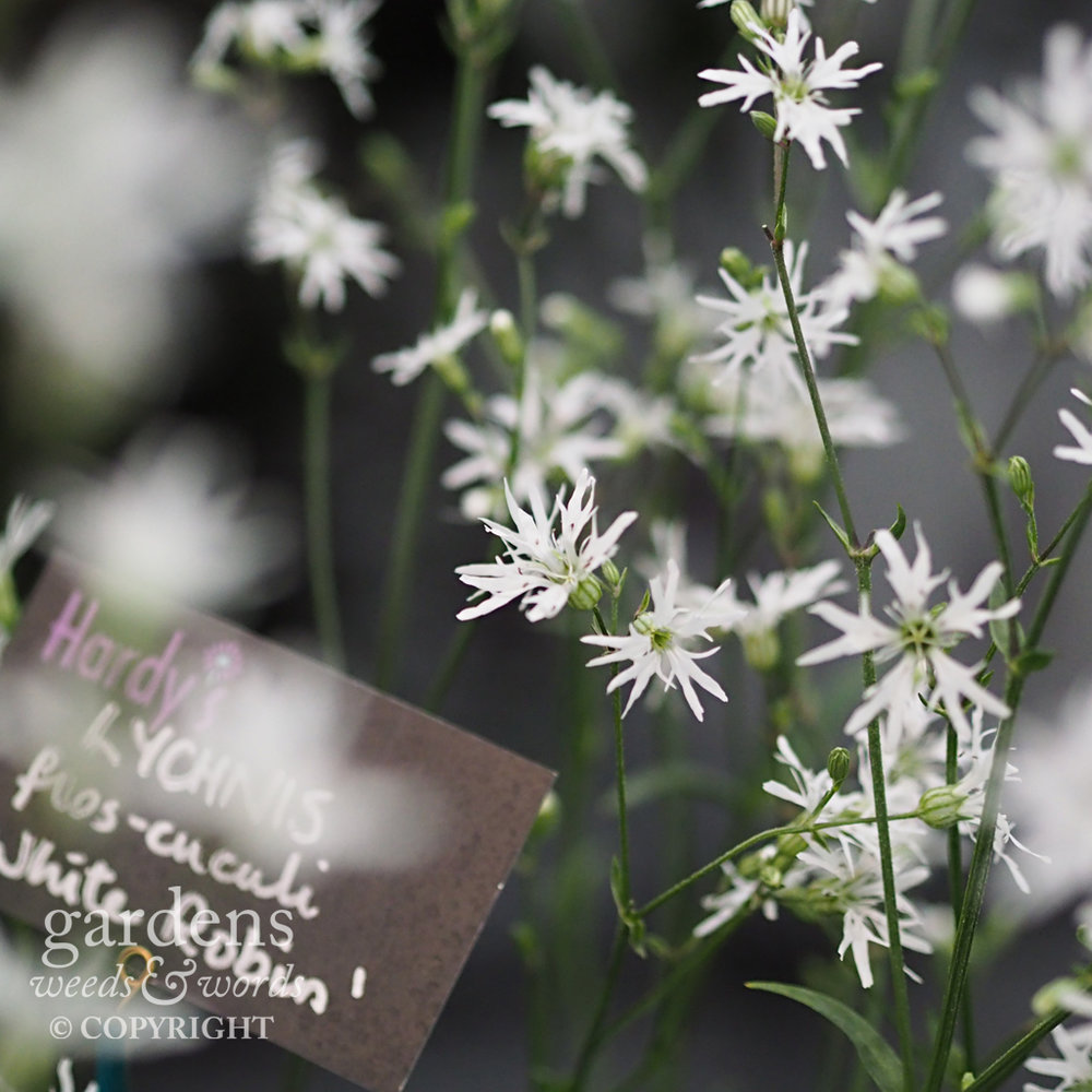 Ragged robin on the  Hardy's Cottage Garden Plants stand at RHS Chelsea 2018